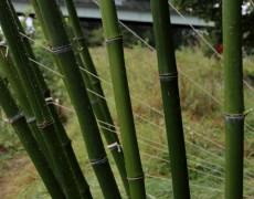 Des bambous sur l'Ile des duits